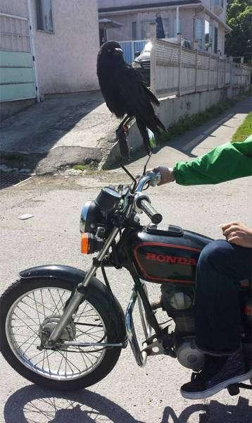 Цікаві фото з воронами (42 фото)
