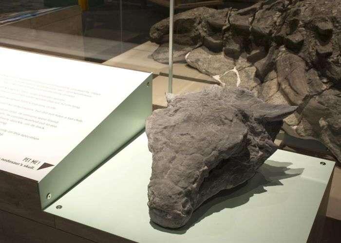 У канадському музеї показали останки нодозавра, яким вже понад 110 мільйонів років (6 фото)