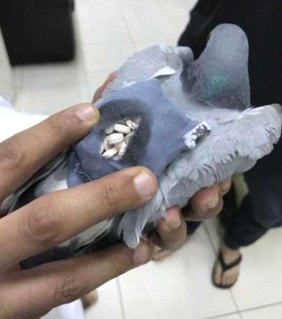 У Кувейті затриманий голуб-контрабандист (4 фото)