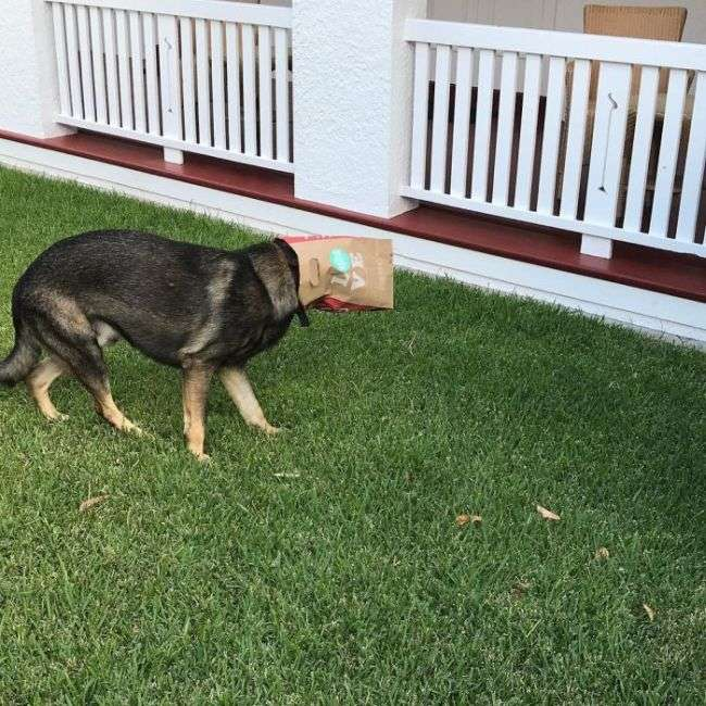 В Австралії дуже доброзичливу собаку виключили з поліцейської академії (14 фото)