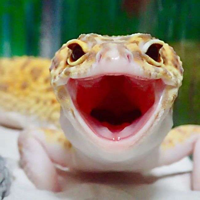 Милота дня: усміхнений гекон (9 фото)