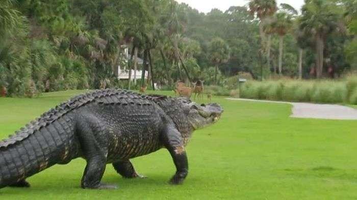 Алігатор вийшов на поле для гольфу (4 фото)
