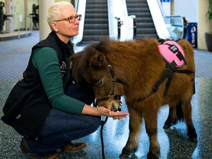 Мініатюрні коні допомагають пасажирам аеропорту боротися з острахом перельотів (5 фото)
