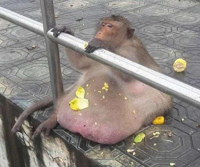 Найтовстішу макаку Бангкока посадять на дієту (10 фото)