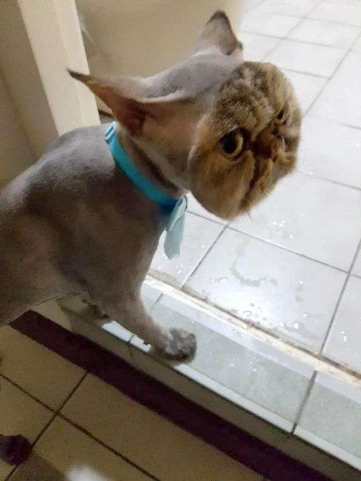 Невдала стрижка перетворила важливого кота в посміховисько (3 фото)