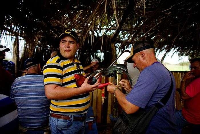 Півнячі бої на Кубі (13 фото)