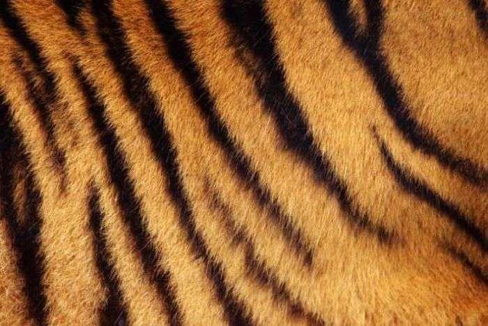 Як видумаєте, смугаста у тигра шкіра чи ні? (5 фото)